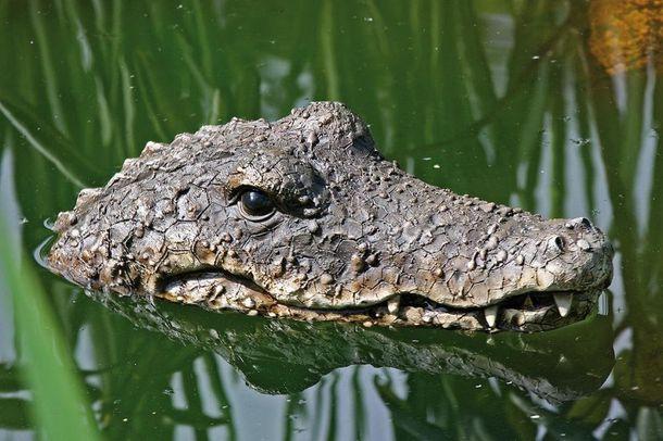 glowa krokodyla