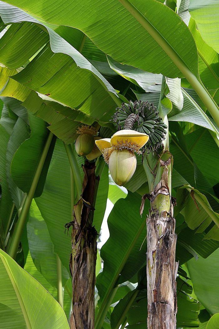 banan01