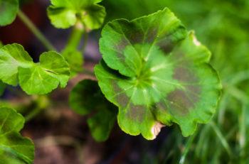 choroby roślin